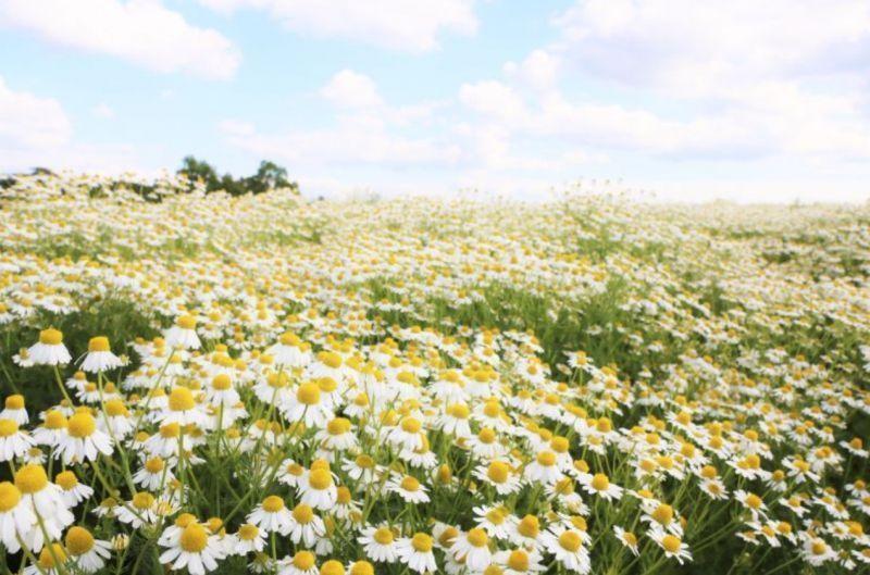 访青山香料花园:能泡茶还能做香料的洋甘菊,原来颜值也这么高!