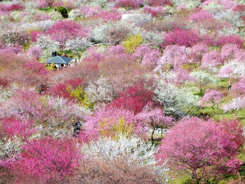 """Plum Grove of Inabe-Shi Agricultual Park"" where the colorful plums spread like a patchwork carpet before your eyes."