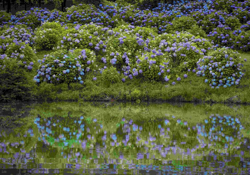 Four Famous Mie Flower Spots for Early Summer: Japanese Irises and Hydrangeas