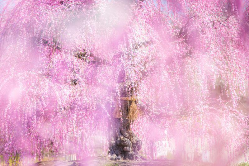 Los 2 mejores lugares seleccionados, con espectaculares vistas de árboles de ciruelos en Mie, llenos de belleza y fantasía
