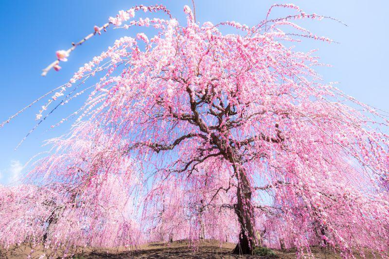 꽃, 바다, 단풍, 일루미네이션 등 미에는 절경 명소의 연속!
