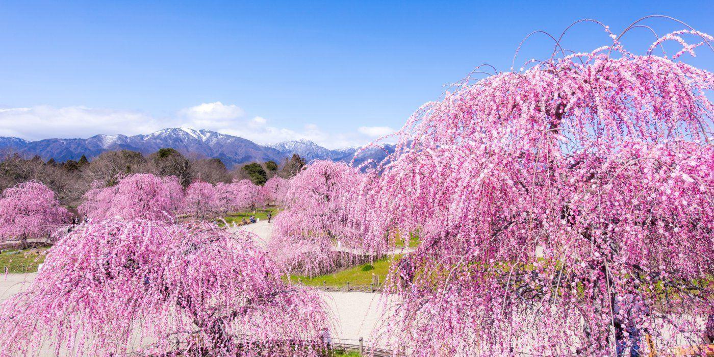 스즈카 산록을 배경으로 가지를 늘어뜨린 매화나무에 꽃이 만발한 압권의 풍경
