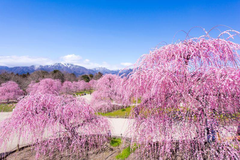 """ไป """"สวนป่าซุซุกะ"""" ที่มีไฟประดับสวยงามสุดอลังการกันเถอะ"""