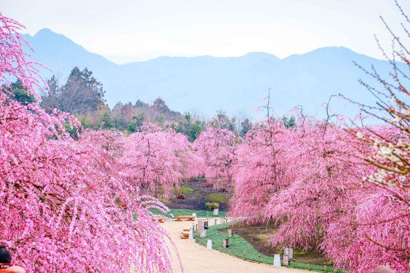 Suzuka Forest Garden เทศกาลพลัมร้องไห้เป็นสัญญลักษณ์การมาถึงของฤดูใบไม้ผลิ