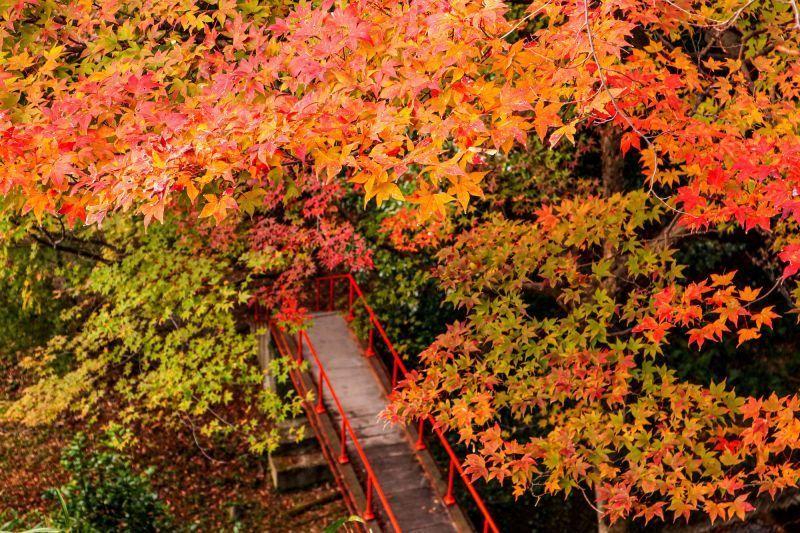 滿谷楓紅與滿眼茶園的秘境「水沢紅葉谷」。